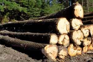 На Киевщине уничтожили 6 тысяч деревьев